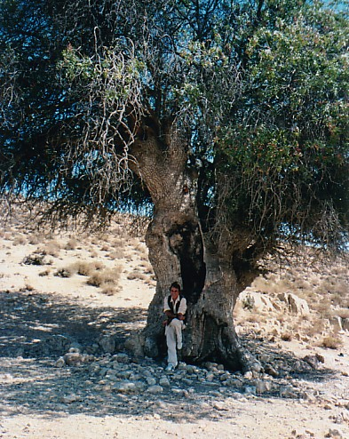 3000 year old tree1 - Jordan